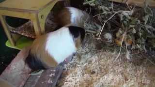 Meerschweinchen: Hasenhaus im Odenwald (online Shop)