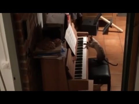 Music-loving cat plays the piano