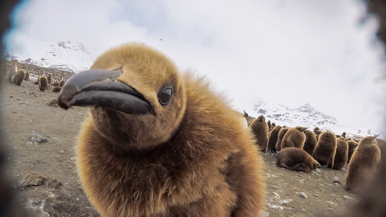 Will Robotic Spy Chick Become The Giant Petrel's Next Victim?