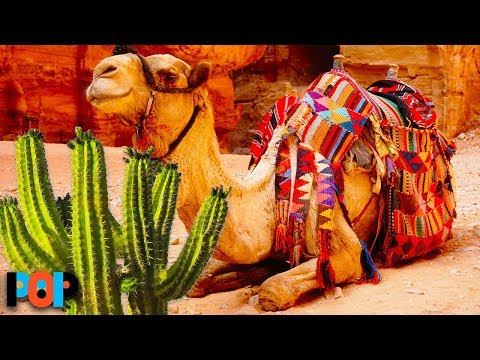 download How Camels Eat Cactus Without Getting Hurt