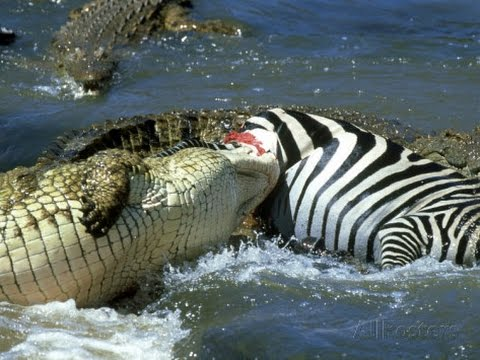 The Nile Crocodile Great Predator of The World (COMPLETE) [HD]