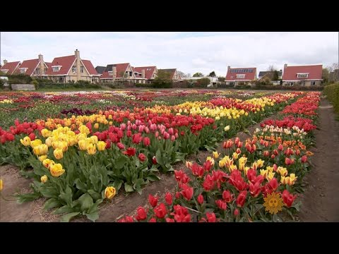 Holland's treasured tulips