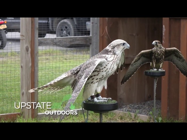 trained falcons scare away trash eating gulls at finger lake landfill video syracusecom
