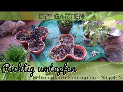 Pflanze richtig umtopfen - Umtopfen einer Zimmerpflanze oder Balkonpflanze