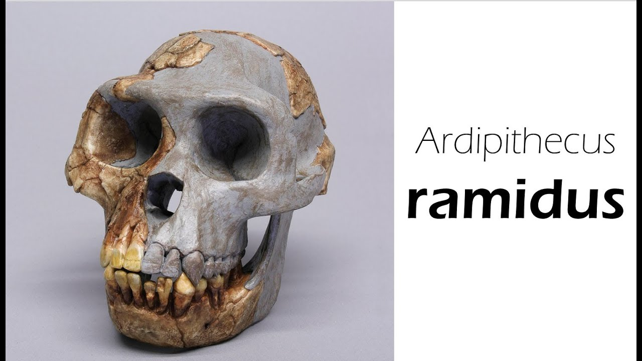 ardipithecus ramidus Ardipithecus ramidus skull recreation: a composite image of ardi's skull recreated  with imaging technologycourtesy tmkeeseymove over lucy,.