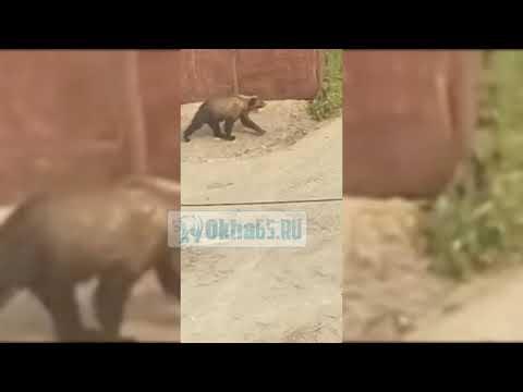 В Охе убили молодого медведя
