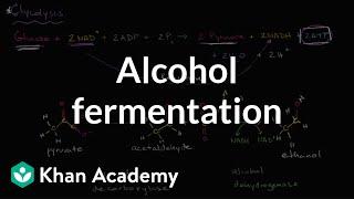 Alcohol Or Ethanol Fermentation