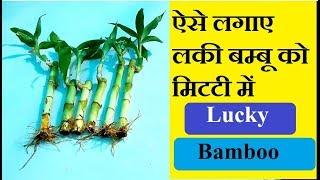 How To Grow Lucky Bamboo In Soil/Care & Tips/Mammal Bonsai