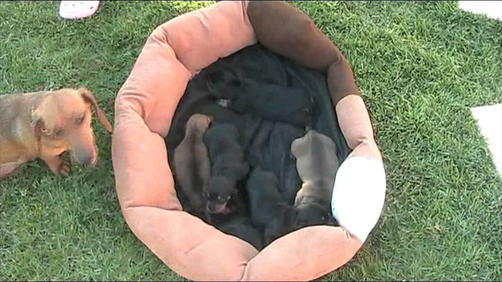 Cuccioli Bassotto Tedescompg Youtube