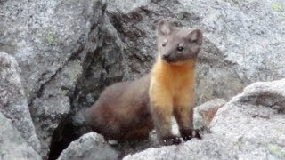 American Marten in Wyoming
