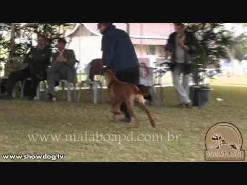 Show Dog Rhodesian Ridgeback - Nawiri of Malabo APB sul minas
