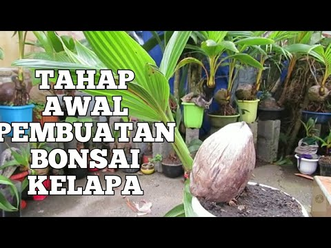 Inspirasi Bonsai Kelapa Hijau Original Youtube