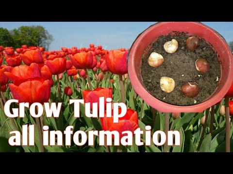 How To Grow Tulips | कभी था सोने से भी मंहगा पौधा