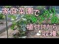 家庭菜園でキュウリの植付けから収穫『簡単支柱立て・誘引方法』