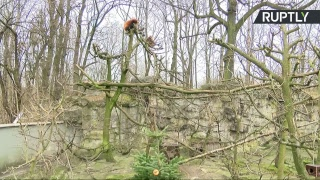 Животные из зоопарка Берлина начинают праздновать Новый год — LIVE