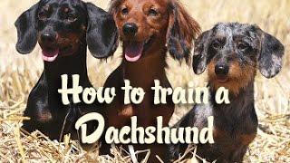 How to train a Dachshund