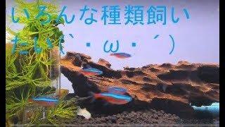 【小型熱帯魚ぺぽのそ水槽(●´ω`●)種類多めにしたいなー】2017part006ゆっくりしていってちょ( ^^) _U~|ω・)あまりマメじゃないけど thumbnail