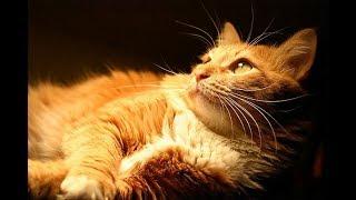 Кот не боится чистить уши.Лечение #отодектоз#ушной клещ# The cat is not afraid to clean the ears.