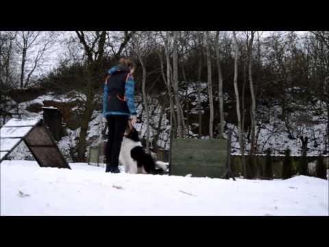 BODIE | Shetland sheepdog | 4 years