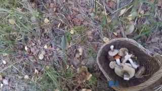 Свинухи грибы