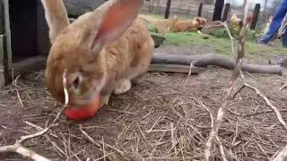 Olbrzymy belgijskie wśród kur(rabbit-chicken)(兔雞)(ウサギ、鶏)(conejo-pollo)(Kaninchen-Huhn)(