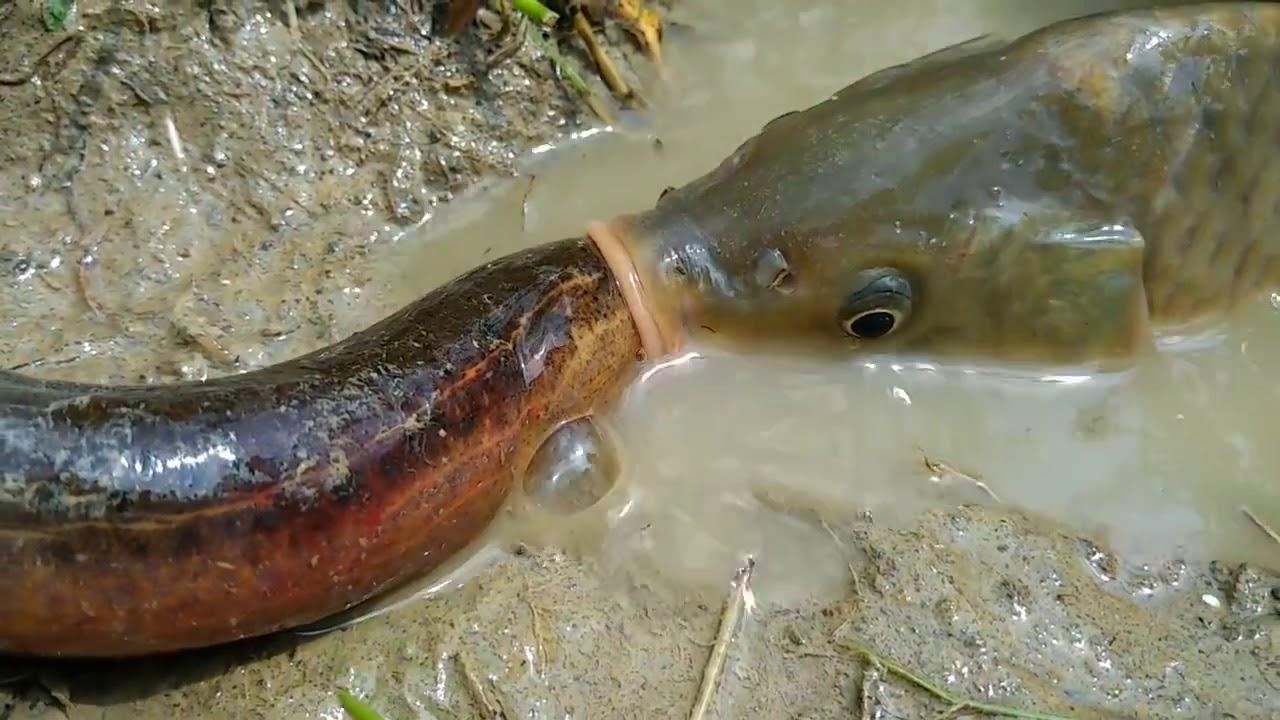 İnanılmaz! Büyük balık yılan balığını yiyor