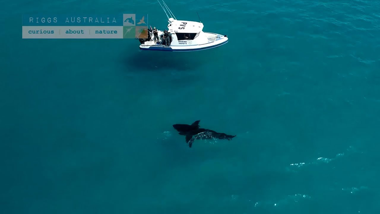 Drone Spots Enormous Great White Shark In Esperance