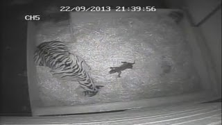 Amazing birth footage: First tiger cub in 17 years born at London Zoo
