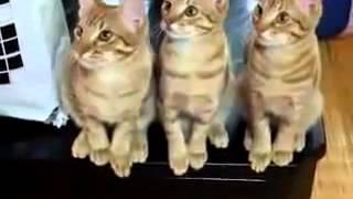 Синхронный танец кошек
