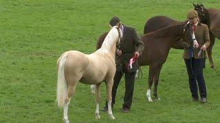Merlod Cymreig Eboles/Adfarch Blwydd |Welsh Ponies Filly/Foal Yearling