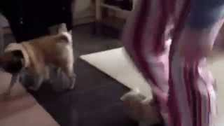 Pug Goes Mad About Slippers