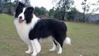 Бордер-Колли. Лучшие породы собак.