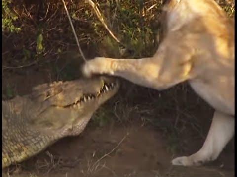 Battle of jaws | Lions vs Crocodiles |  Big Cat Diary | BBC Earth