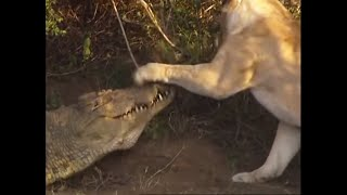 Battle of jaws - Lions vs Crocodiles -  Big Cat Diary - BBC Earth
