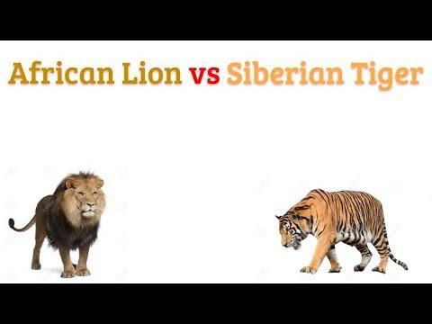 African Lion vs Siberian Tiger 2018