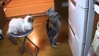 video lucu kucing goyang dumang