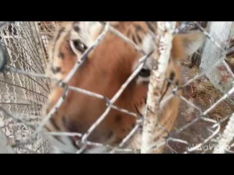 Tigers, Setif Zoo, Algeria