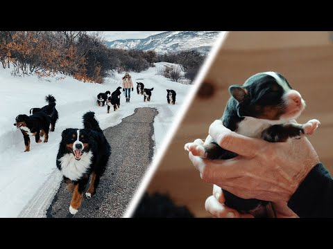 OUR 14 BERNESE MOUNTAIN DOGS! New Puppies are Born! Ep. 4 || vlog013