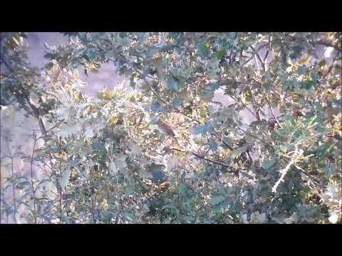Locustella naevia 12 09 18 Alb Vermiosa