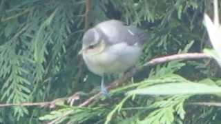 Fledgling Bluetit Chicks Feed Rspb Birds & Wildlife Uk