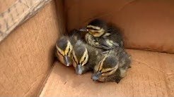 Firefighters rescue ducklings with YouTube clip