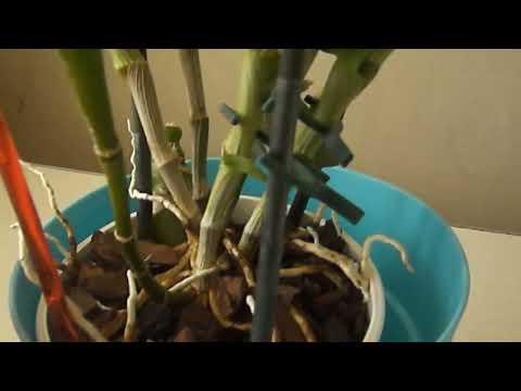 Как заставить цвести дендробиум нобиле ч.1