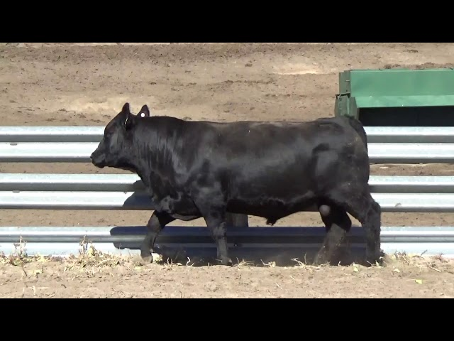 Connealy Angus Lot 179