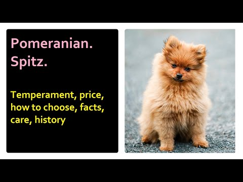 Pomeranian.  Spitz.  Temperament, price, how to choose, facts, care, history