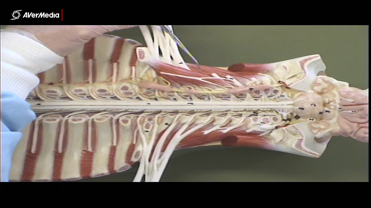 Scalenes and Sympathetic Trunk 2 - YouTube