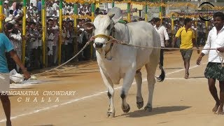 Hyper Active Ongole Bull Attacking Another Bull While Entering the Court