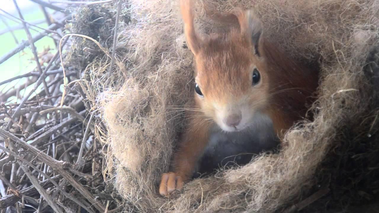 Eichhörnchen mit Babies (squirrel with babies) - Kalimba ...