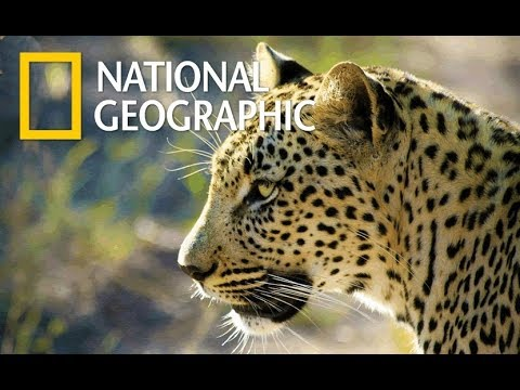 Leopard - The Life Of Big Cat (Nat Geo Wild)