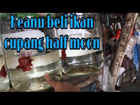 Keanu beli ikan cupang half moon warna merah - YouTube