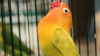 Download SILAHKAN DI COBA! Lovebird Masteran handal | Lovebird anda pasti ngamuk